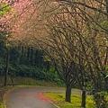 大尖山櫻花2020013.jpg