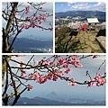 大尖山櫻花2020010.jpg
