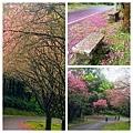 大尖山櫻花2020015.jpg