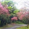 大尖山櫻花2020012.jpg