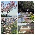 大尖山櫻花2020018.jpg