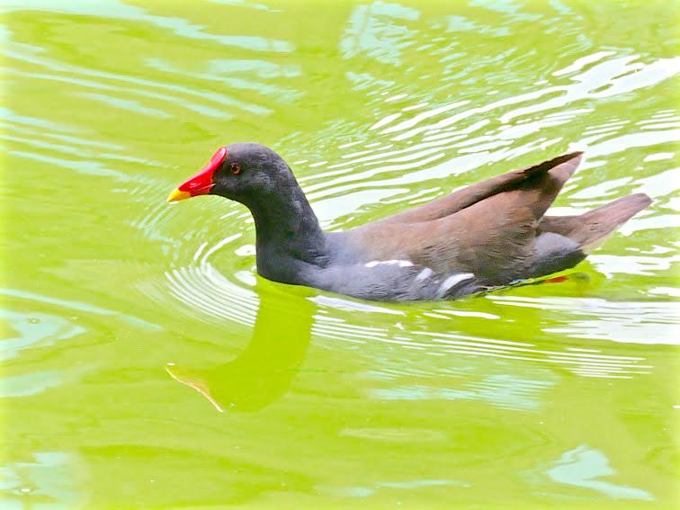 紅冠水雞005.jpg