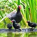 紅冠水雞002.jpg