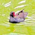 紅冠水雞006.jpg