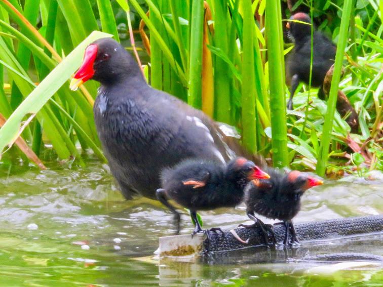 紅冠水雞003.jpg