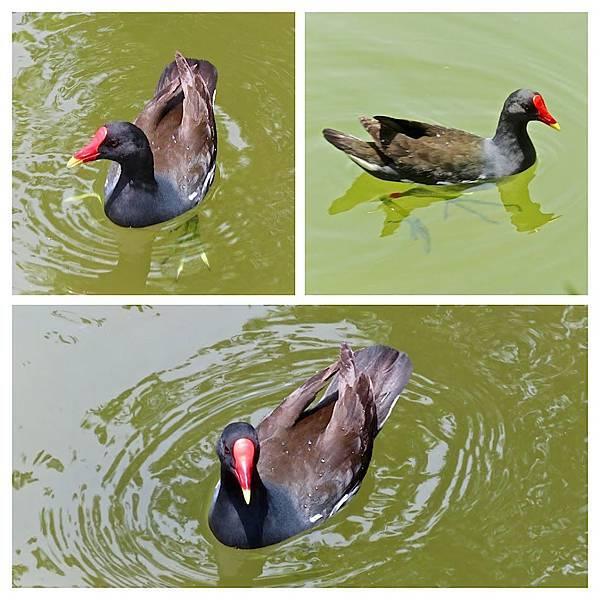 紅冠水雞624012.jpg