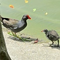 紅冠水雞624002.jpg