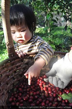 採咖啡-小孫女
