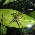 水螳螂.jpg