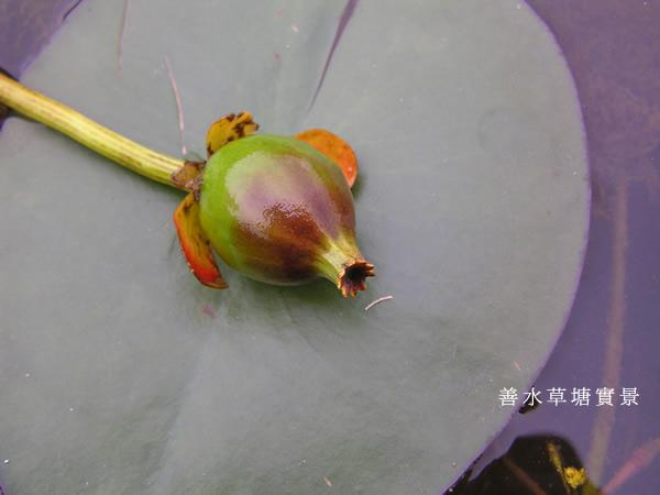 台灣萍蓬草漿果.jpg