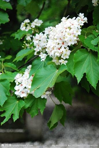 台中油桐花