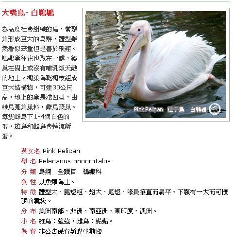 大嘴鳥(白鵜鶘).JPG