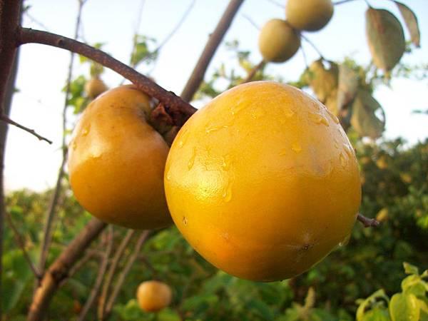 黄澄澄的柿子