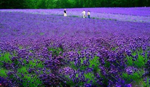 北海道富良野這片紫色花田