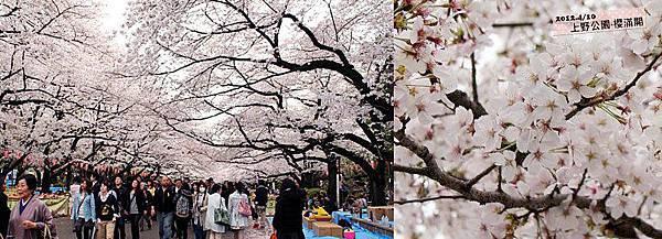 0411-【現場連線‧櫻花】領隊謝牢板在東京上野公園拍下了櫻花滿開。櫻花的天空~大家在樹下的藍色帆布上坐著喝喝飲料聊聊天~應該是一位難求吧(笑~)