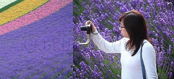 【紫‧花田】陽光普照的北海道,紫色世界是真的!好美喔~