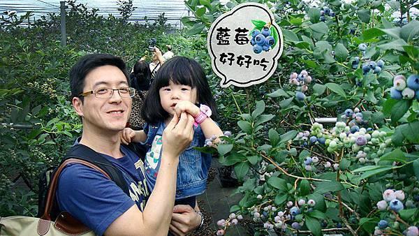 【開心農場】現在當季水果是藍莓,好大顆好好吃!