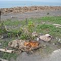 堤岸上擱淺的魚已成魚乾.JPG