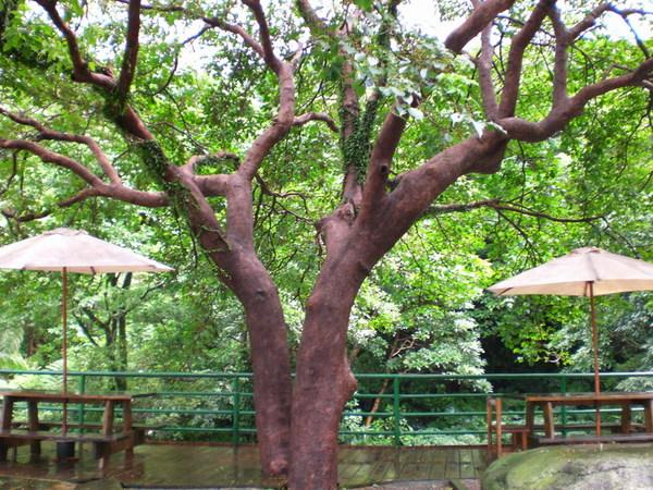 大樹下乘涼