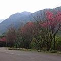 三芝櫻花道