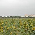 超多超大向日葵
