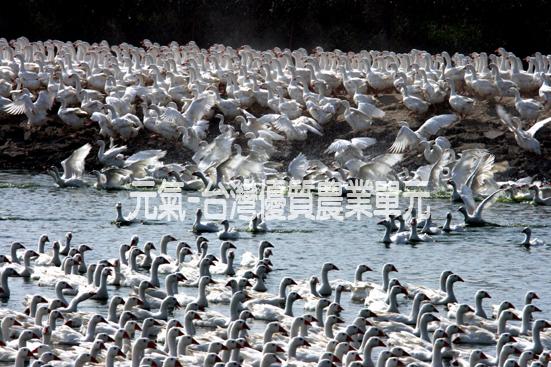 鵝群.jpg