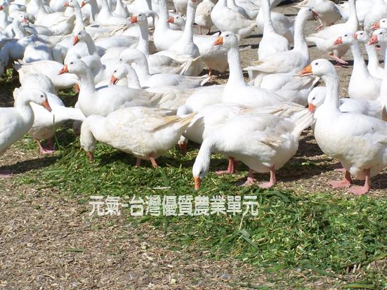 鵝吃草.jpg