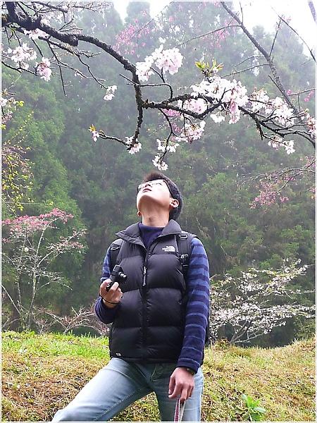 P1150109-5阿里山櫻花.JPG