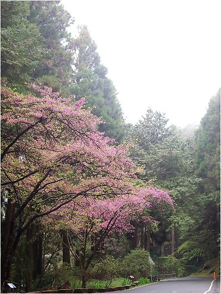IMG_0169-4阿里山櫻花.JPG