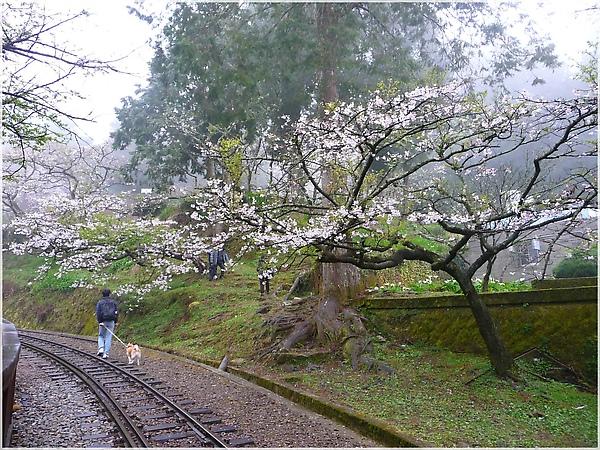 P1150137-7阿里山櫻花.JPG
