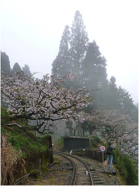 P1150145-8阿里山櫻花.JPG