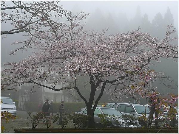 P1150171-9阿里山櫻花.JPG