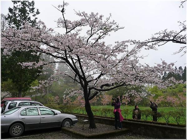 P1150180-10阿里山櫻花.JPG