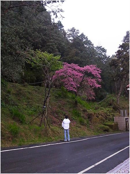 R1276396-14阿里山櫻花.JPG