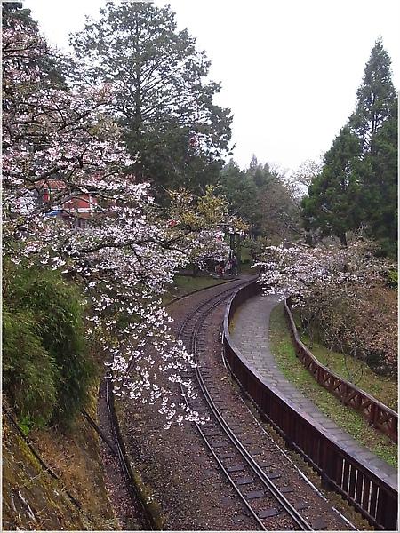 R1276424-16阿里山櫻花.JPG