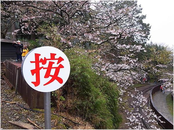 R1276425-17阿里山櫻花.JPG