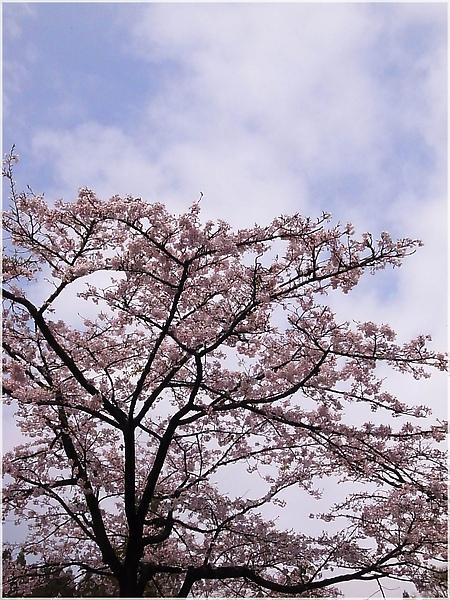 R1276527-22阿里山櫻花.JPG