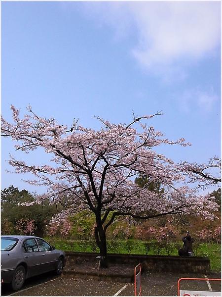 R1276553-24阿里山櫻花.JPG