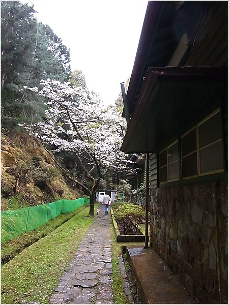 R1276597-26阿里山櫻花.JPG