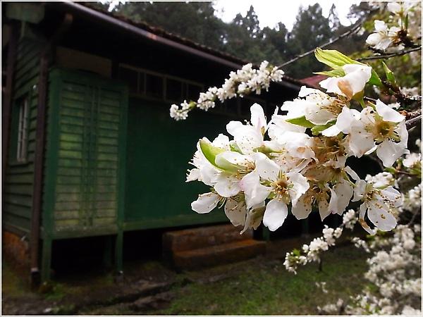 R1276615-28阿里山櫻花.JPG