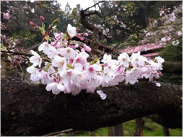 R1276644-30阿里山櫻花.JPG
