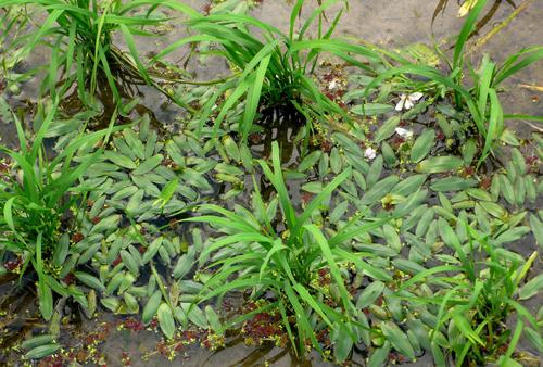 2 沒有使用除草劑的水梯田,形成不少水生植物的方舟。s.jpg