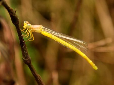6 不少稀有的物種如黃腹細蟌,僅分佈在東北部山區的水梯田。s.jpg