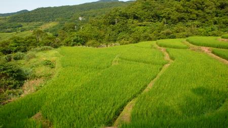 山區只有一個生長季,比平地晚近一個月的梯田稻,預計七八月間收割。s.jpg
