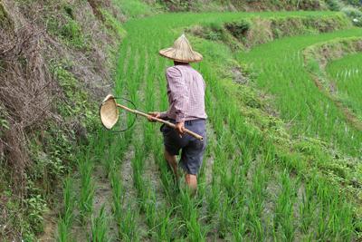 農民放棄使用農藥,以竹編自製的抓蟲器捕捉負泥蟲,並可提供家禽食用。林紋翠攝s.jpg