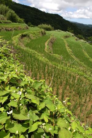 適切的田埂維護,保留了生物多樣性與伴生植物的應用性。林紋翠攝s.jpg
