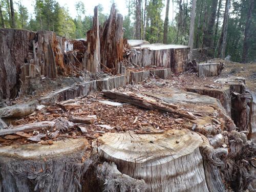 P1170131 遭砍伐的原始樹木s.jpg