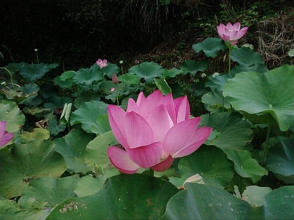 竹峰茶園4