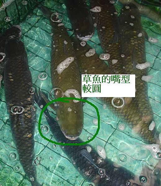 草魚嘴型.JPG
