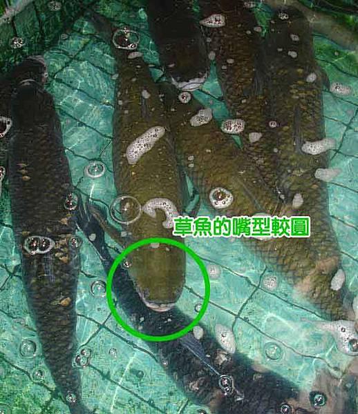 草魚_new.jpg